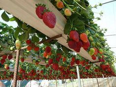 Is this a strawberry heaven.. or just a smart recycling idea? old rainwater gutters into strawberry beds: