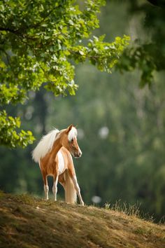 A miniature horse stands regally on a hillside.