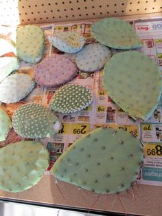 cuttings from mother cacti plants