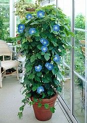 Kodin Ykkönen - Viherpeukalot Päivänsini Heavenly Blue 1kpl/pakk. Shrubs, Heavenly, Perennials, Trees, Garden, Flowers, Plants, Blue, Outdoor