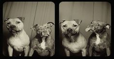Two Rescue Pit Bulls Sat Inside A Photo Booth. The Photos Reveal Something BEAUTIFUL! | PetFlow Blog - The most interesting news for pet parents around the world... Click to see more photos.