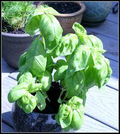 Desperate Gardener: gardening tips for basil