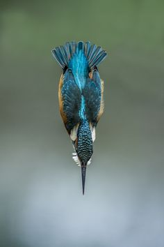 Kingfisher by Riccardo Trevisani on 500px