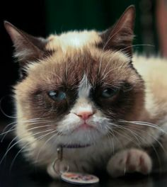 Grumpy Cat, an Internet celebrity cat whose real name is Tardar Sauce, is photographed on Friday April 4, 2014 in New York. #GrumpyCat #Tard #TardarSauce