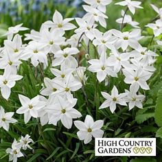 Ipheion Bulbs Alberto Castillo | Spring Starflower | Low Water Plants, Eco Friendly Landscapes | High Country Gardens
