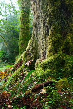 Rain Forest, Olympic National Park, Washington, Caryn Rauh