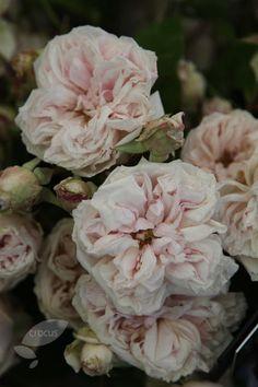 ♕ Rosa 'Souvenir de la Malmaison'