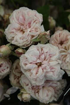 Pink old fashion roses
