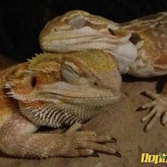 Bearded dragon....I really kinda want one of these!