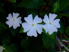Kauai fleurs-tropical-beauties