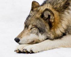 "beautiful-wildlife: "" Sleeping Wolf by Gary Slawsky "" Beautiful Wolves, Beautiful Dogs, Animals Beautiful, Cute Animals, Wolf Photos, Wolf Pictures, Wolf Spirit, Spirit Animal, Sleeping Wolf"