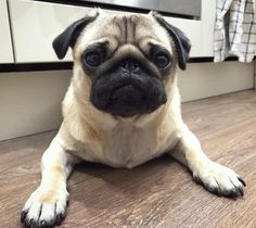 A pug illusion - am I lying down or standing in a hole? #puglife