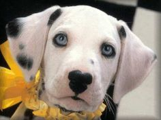 Double blue-eyed Dalmatian puppy with MICKEY MOUSE markings on her nose! OMG sooooo cute!