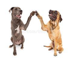 Great Dane and Mastiff Dogs Shaking Hands. Great Dane and Brindle Mastiff with p , Brindle Mastiff, Mastiff Dogs, Giant Dog Breeds, Giant Dogs, Dog Training Techniques, Dog Training Tips, Potty Training, Dog Shaking, Dog Minding