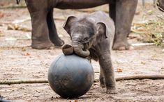 Download wallpapers little elephant, football, ball, elephants, cute animal