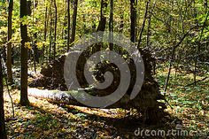 The roots of a fallen tree in a mixed forest