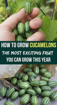 you ever heard of cucamelons? This is a fruit you should definitely consider growing in your garden.Have you ever heard of cucamelons? This is a fruit you should definitely consider growing in your garden. Home Vegetable Garden, Fruit Garden, Edible Garden, Veggie Gardens, Growing Plants, Growing Vegetables, Culture Tomate, Organic Gardening Tips, Organic Compost
