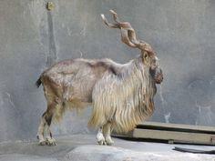 Markhor El markhor parece salido de un libro de fantasía y es fácil ver porqué es el animal nacional de Pakistán. Su alto estatus e increíble estilo sorprenden y por ellos se hicieron un blanco perfecto para los cazadores de trofeos y ahora sólo hay alrededor de 2.500 ejemplares restantes.