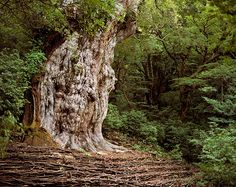 Rachel Sussman: The Oldest Living Things In The World – Jōmon Sugi, Japanese Cedar, Japa (up to 7,000 years old)