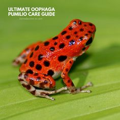 After countless hours of research, here is part 1 of 11 for the Ultimate Oophaga pumilio care guide featuring the introduction to care. Frog Facts, Frogs, Lady, Animals, Amphibians, Animales, Animaux, Animal, Animais