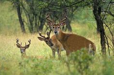 Too Many Deer: A Bigger Threat to Eastern Forests than Climate Change | Cool Green Science
