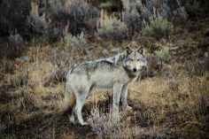 Gray Wolf--I Love Wolves Photo