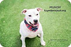 Kansas City, MO - Pit Bull Terrier Mix. Meet Munch, a dog for adoption. http://www.adoptapet.com/pet/17769125-kansas-city-missouri-pit-bull-terrier-mix