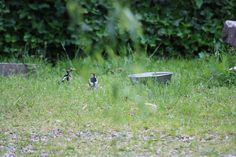 Middle spotted woodpecker and young