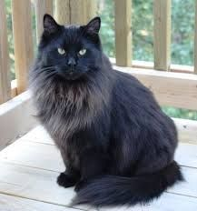 Image result for black maine coon cats