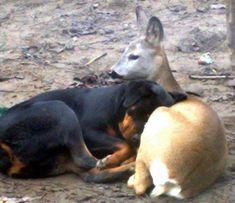 Rottweiler and deer