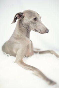 PяεcɨơųᎦ ᏣαtᎦ αŋɖ ∂ơɠᎦ (italian greyhound by Alessandro Manco)