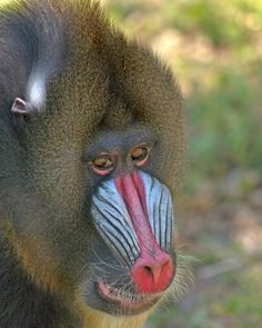 Mandrills spend most of their time on the ground of the rainforest.  When threatened, they go up into the trees.  Primary predators are humans and leopards.