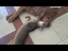 These are my pets...Ellie and Rudy.  True Love Between Cat and Dog: The Abyssinian and the Golden Retriever