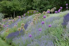 A dream couple for dry locations: Zierlauch, Globemaster 'and Downderry … – Growing Lavender Gardening - Growing Plants at Home Backyard Flowers, Lavender, Mini Garden, Hanging Garden, Growing Lavender, Grasses Landscaping, Grasses Garden, Vegetable Garden Design, Beautiful Tree