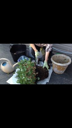 Separating and Repotting Geraniums