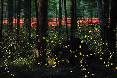 Synchronous fireflies in the Great Smoky Mountains