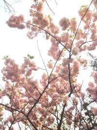 Love cherry blossoms - BRING ON SPRINGTIME IN SOUTH AFRICA!