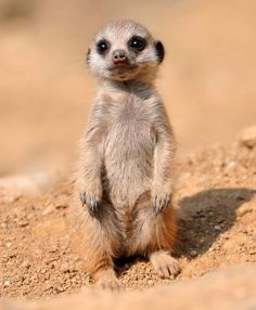 Baby Meerkat Comment voulez-vous résister à ça? Meerkat - Scouting the desert, always on guard against foes and in search of prey. List Of Animals, Animals And Pets, Funny Animals, Animal List, Exotic Animals, Small Animals, Photos Of Animals, Australian Animals, Baby Meerkat