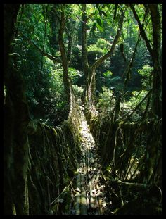 Living Root Bridge, India (made from the roots of Indian rubber trees)
