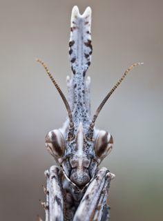Empusa pennata, common names conehead mantis in English and mantis palo in Spanish, is a species of praying mantis in genus Empusa. Cool Insects, Bugs And Insects, Mantis Religiosa, Flora Und Fauna, Cool Bugs, Praying Mantis, Beautiful Bugs, Chenille, Mundo Animal