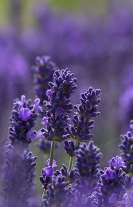 Lavender - hidcote blue
