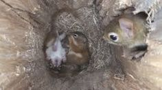 Have you ever caught yourself thinking about where do squirrels sleep? What the animals actually do for shelter? We are talking about those in the wilderness that are getting on their own.