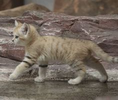 Felis Margarita, Chat Male, Sand Cat, Four Legged, Animals And Pets, Spider, Legs, Nature, Cute