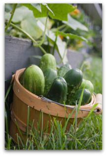 growing cucumbers: this site is really good for tips on growing good cucumbers