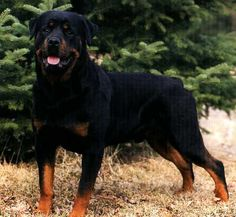 Image detail for -years 1995 2003 all photos mark raycroft rottweiler puppies wall Best Dog Photos, Funny Dog Photos, Puppy Pictures, Horses And Dogs, Animals And Pets, Rottweiler Breed, Dog Search, Dog Training Tips, Pitbull Terrier