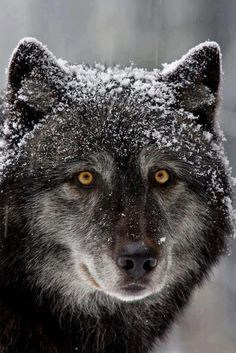 AWESOME PICTURE. What a beautiful Wolf face look at those  eyes and that facial expression