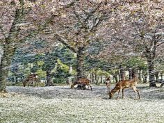 Deer: Deer under falling cherry blossom petals in Nara Park, Japan. Photograph by Hisao Mogi, National Geographic Traveler Photo Contest National Geographic Traveler Magazine, National Geographic Photo Contest, Cherry Blossom Wallpaper, Cherry Blossom Petals, Japan Picture, Japan Photo, Cool Pictures, Cool Photos, Amazing Photos