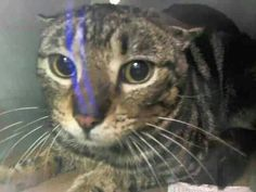 Another frightened kitty.needs urgent rescue at ACC shelter in New York City URGENT visit pets on death row on Facebook doomed to die today in 30 min.....