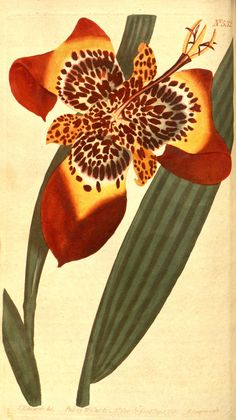 v.15-16=no.505-596 (1801-1803) - Curtis's botanical magazine. - Biodiversity Heritage Library