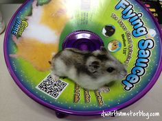Ware Flying Saucer Hamster Wheel Review - Dwarf Hamster Blog Dwarf Hamsters, Hamster Wheel, Exercise Wheel, Flying Saucer, Cool Watches, Your Pet, Pets, Board, Blog